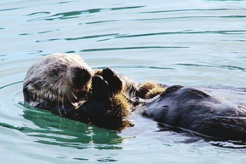 A sea otter eats an urchin in the Seward bay, Alaska. SeaOtter Otter Urchin Wildlife Alaska Ocean Nature Animals Wildlife Photography Nature Photography