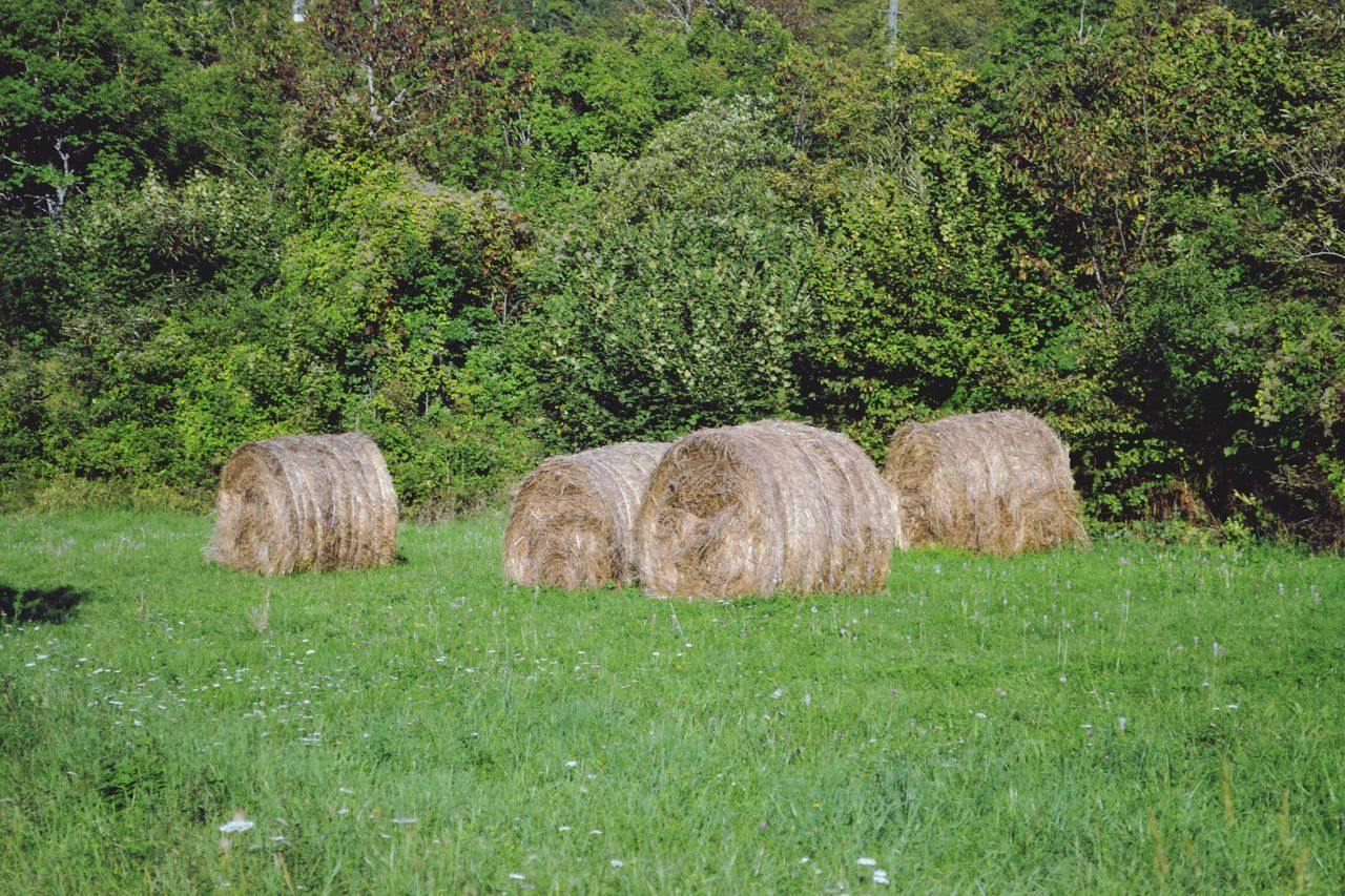 Hays In Grassy Field Against Tree