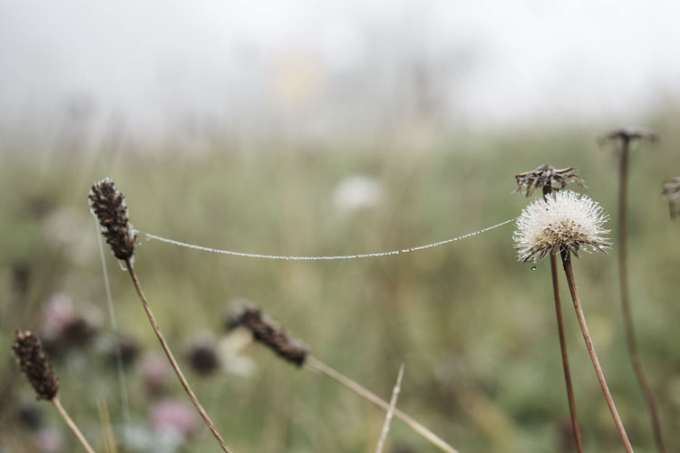 Focus On Foreground Plant Growth Wildflower Nature Flower Fragility Freshness Tranquility Flower Head Field Nature Outdoors Autumn Collection Cold Temperature Autumn Foggy Morning Moody Tranquility Grass Beauty In Nature Fog Dew Nature_collection Nature Photography