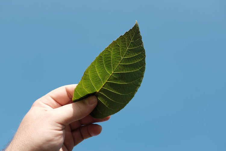 Cropped hand holding leaf against clear blue sky
