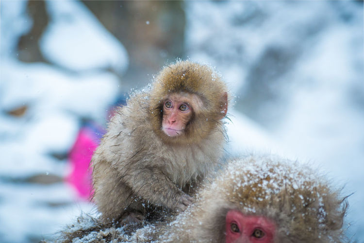 Snow monkey in a hot spring, Nagano, Japan. Animal Animal Family Animal Hair Animal Themes Animal Wildlife Animals In The Wild Care Cold Temperature Day Group Of Animals Japanese Macaque Looking Mammal Monkey No People Primate Snow Snowing Two Animals Vertebrate Winter Young Animal