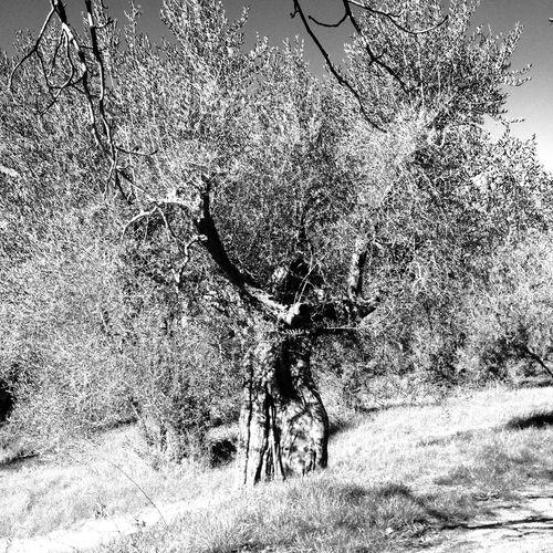 Tree Olivetree Tuscany Pienza Italy Art Nature Italia Toscana Blackandwhite B&w First Eyeem Photo Olive Tree Trees Tree_collection  Human Tree I❤️Trees