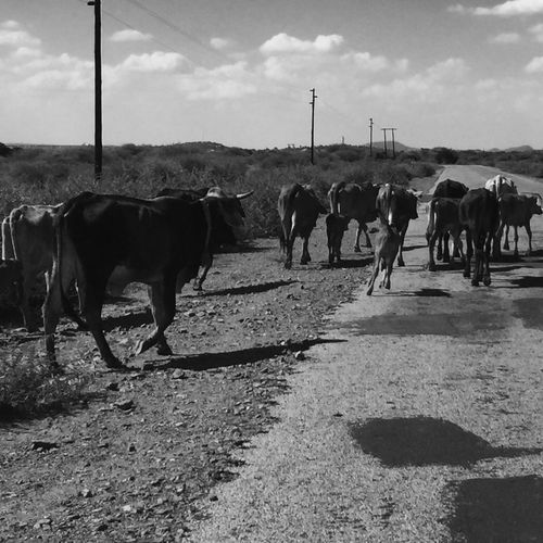Caught in the drought... Drought The Drought Cattle Cattle Calf Herd Of Cows BLCK&WHT Blackandwhite Black And White Black & White Black&white EyeEm Best Shots - Black + White