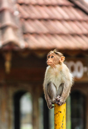 Monkey looking away while sitting on pole in city