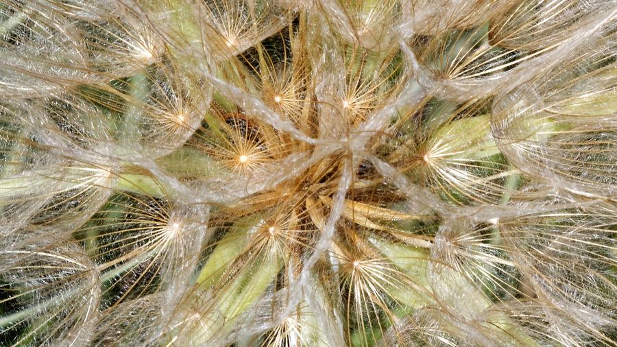 Taraxacum officinale. Near Le Poët-Sigillat. France. 2016 Gewöhnlicher Löwenzahn Le Poët-Sigillat Pusteblume Pflanze Löwenzahn Taraxacum Offcinale Beauty In Nature Dandelion Nature Plant