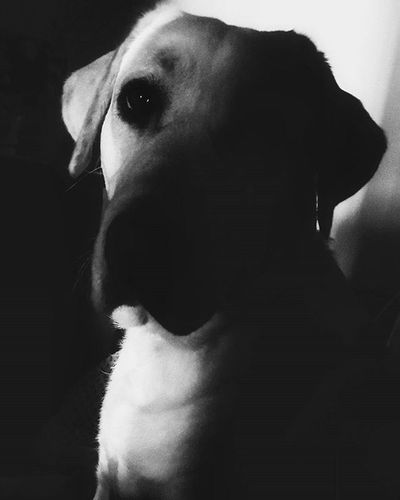 I can see you...even in the dark... Instadog Dogsofinstagram Petsofinstagram Dogs Dog Pet Pets Cachorro Cachorros Animallovers Doglover Ilovedogs EuAmoCachorros Petgram Instapet LabradorRetriever Monochrome Monocromatico Monochromatic Blackandwhite
