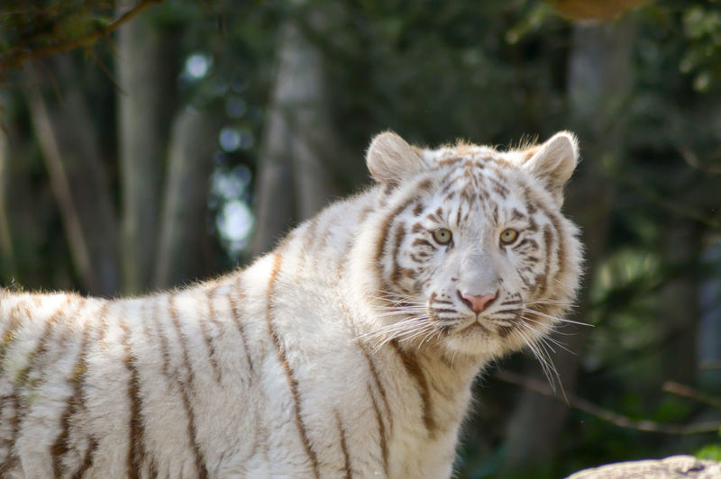 Side view portrait of white tiger standing against trees