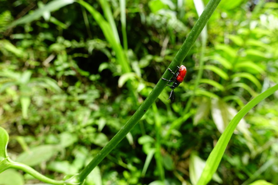 Bug China,Guizhou Red Insect Leaf Close-up Grass Plant Green Color Tiny