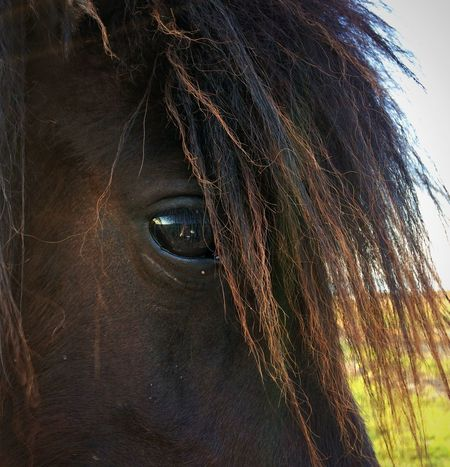 Black Beauty Eye Reflection Beauty In Nature EyeEm Nature Lover Horse Animal Themes Mammal Livestock No People Nature Close-up Brown Day Outdoors Hair Portrait Animal Eye Animal Themes