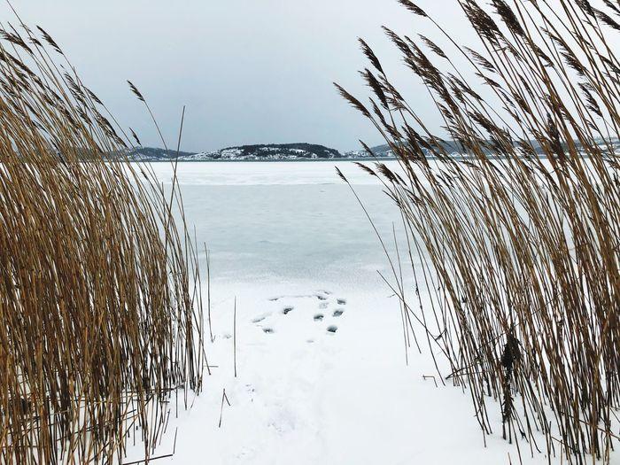 Seaweed Reed Footprints Footprints In Snow Footstep Winter Sea Ice Sky Water Nature Day No People Beauty In Nature