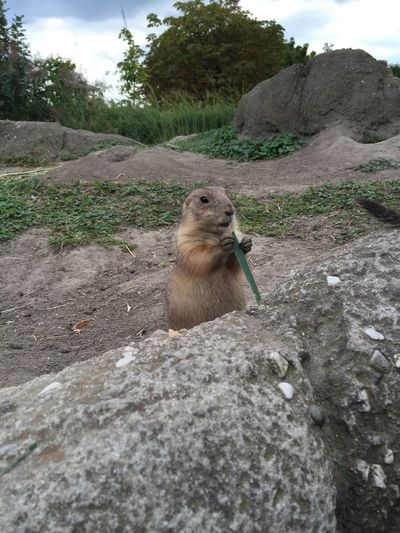 Prairie Dog Prairie Dogs One Animal Animal Themes M Tree Nature Zoology Mammal Beauty In Nature Sky Day Outdoors Animal Head  Tranquility Non-urban Scene Tranquil Scene Expression