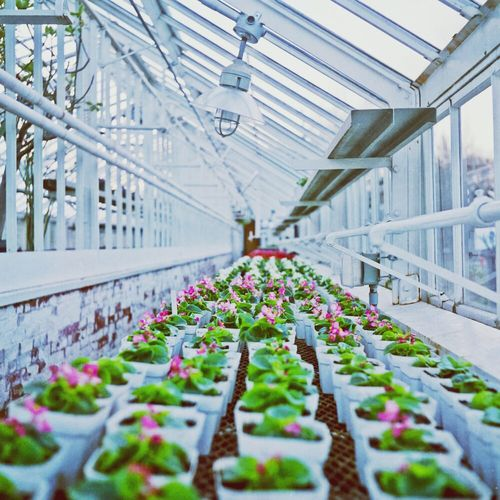 View of plants in rows at greenhouse