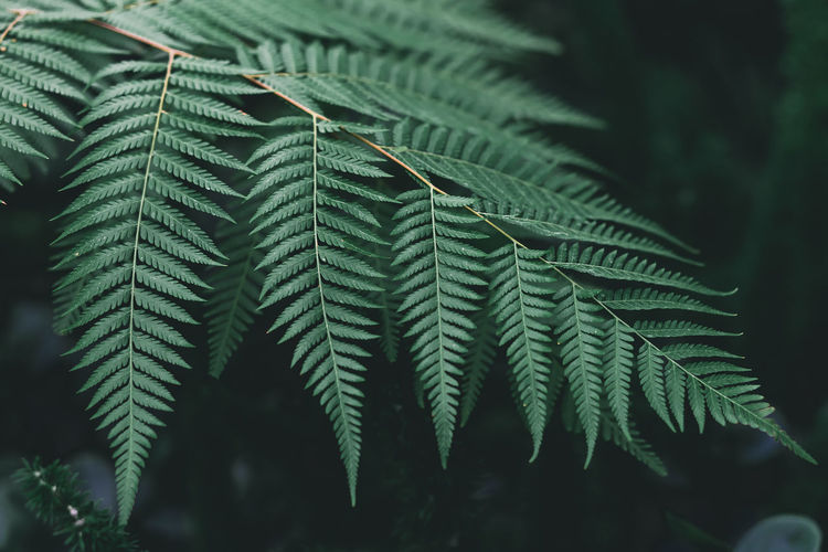 Green Background Beauty In Nature Close-up Coniferous Tree Day Fern Focus On Foreground Freshness Green Color Growth Leaf Leaves Natural Pattern Nature No People Outdoors Pattern Pine Tree Plant Plant Part Selective Focus Tranquility Tree