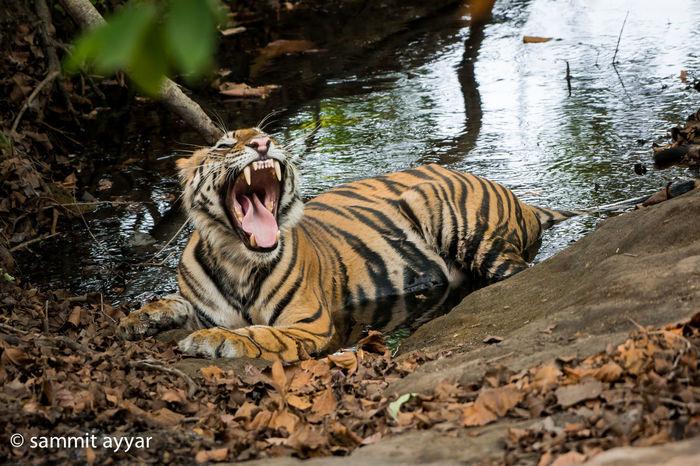National Animal Of INDIA #Nature  #save# #Tiger #wildlife Animal Themes Outdoors
