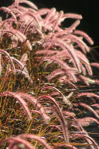Plant Growth Selective Focus Close-up Nature No People Beauty In Nature Outdoors Tranquility Grass Field Pink Color Focus On Foreground Full Frame