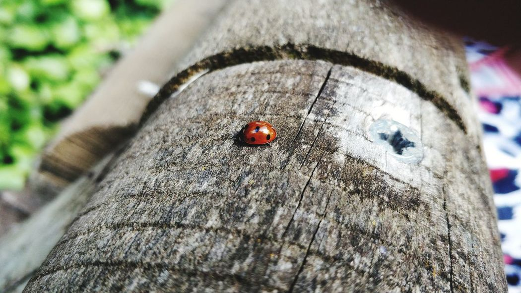 LadyBug Op5t EyeEmNewHere Wood - Material Wood Naturaleza Ladybug Insect Textured  Close-up