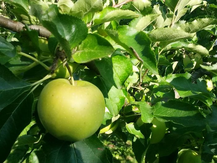 Fruit Healthy Eating Growth Green Color Food Agriculture Food And Drink Leaf Vegetable Freshness Organic Unripe Day Apple - Fruit Nature Plant No People Citrus Fruit Healthy Lifestyle Tree Apple Apple Tree Apfelbaum  äpfel Am Baum Nature Photography