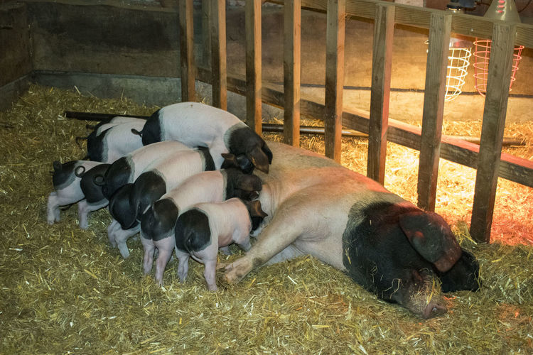Piglets Suckling Animal Themes Day Dog Domestic Animals Indoors  Mammal Nature No People Pets Pig Piglets Piglets Eating Piglets Feeding Puppy Relaxation Sleeping Togetherness Young Animal
