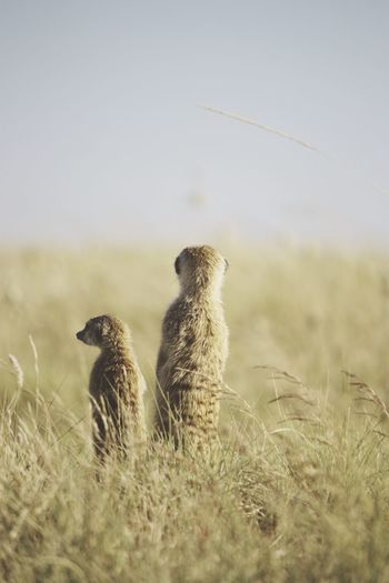 Meerkats Standing On Field Against Clear Sky On Sunny Day