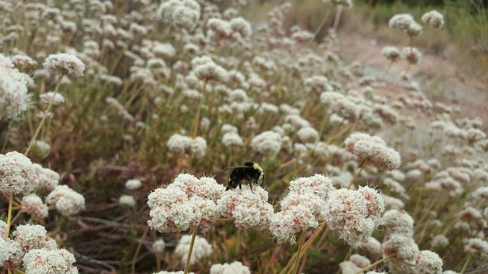 Flower Fragility Insect Season  Freshness One Insect Beauty In Nature Growth Wildlife Springtime Nature Focus On Foreground Blossom In Bloom Bee Plant Pollination Flower Head California Buckwheat Bumblebee Bumblebee On Flower Bumble Collecting Pollen