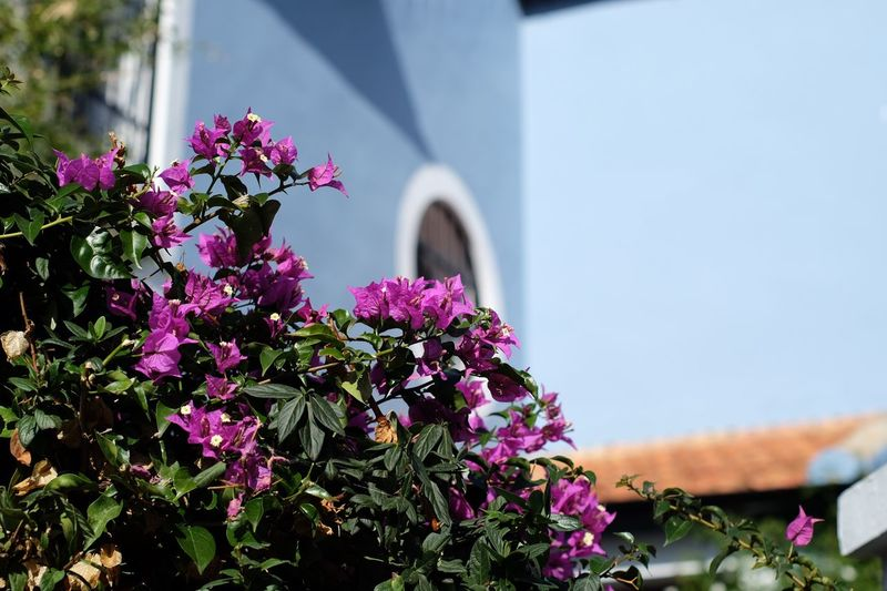 Winter? Marbella Flower Built Structure Architecture Nature Building Exterior Fragility Growth Freshness Plant Beauty In Nature Day Purple Outdoors Blooming No People Petunia Bougainvillea Close-up Lilac
