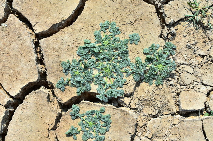 patience, endurance, smart, fight, fight for life, Arid Ground Arid Plants Beautifully Dry Beauty In Nature Endurance Fight For Life Green Low Grass Green Plant On Dry Cracked Soil Plant Growing On Dry Soil