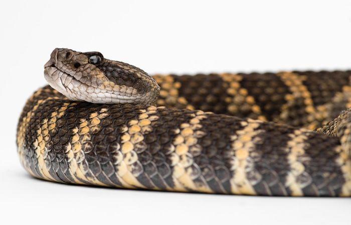 Reptile Watching Rattler Venomous Snake Rattlesnakes Rattlesnake Snakeskin One Animal Reptile Animal Snake Animal Themes Animal Body Part Close-up Vertebrate No People Animal Scale Animal Head  Animal Markings Pattern Nature Animal Wildlife