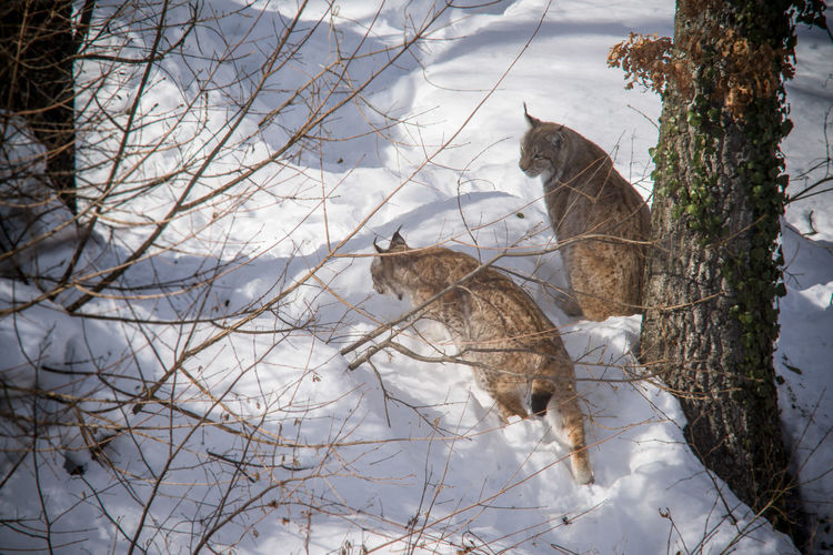 Eurasian Lynx Eurasian Lynx Lynx Cat Animal Themes Animal Wildlife Animals In The Wild Big Cat Cold Cold Temperature Day Feline Lynx Lynx In Snow Mammal Nature No People Outdoors Snow Tree Winter