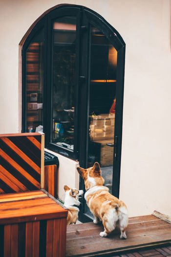 Two funny corgi dog waiting for owner at the door.