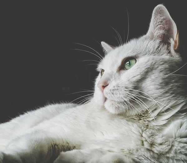 Modeling Beautiful Animal Portrait. Pet Portrait Cats Of EyeEm Popular Photos EyeEm Best Shots EyeEm Gallery Cat Lovers Unconditional Love My Best Friend❤