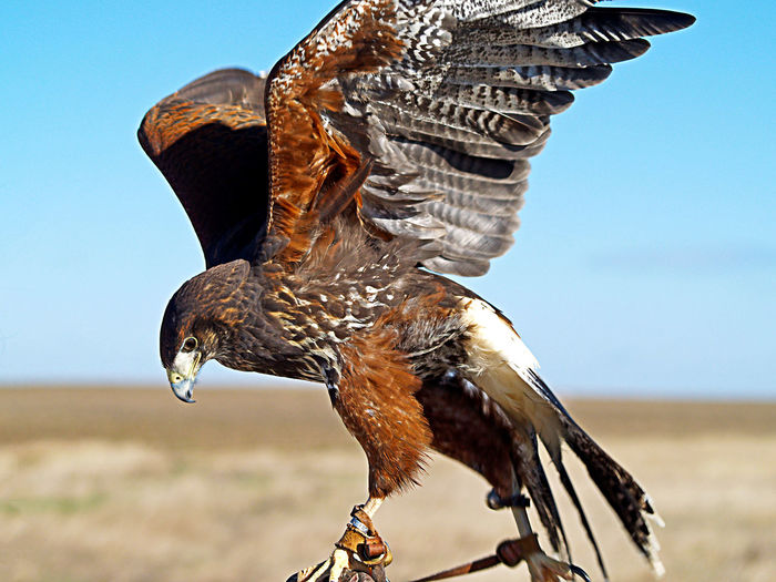 Animal Themes Animals In The Wild Beauty In Nature Bird Bird Of Prey Close-up Day Falconry Fauna Focus On Foreground Harris Harris Hawk  Hawk Medieval Nature No People One Animal Outdoors Parabuteo Parabuteo Unicinctus Parabuteo Unicinctus Harrisi Pelican Sky Wild Flying High