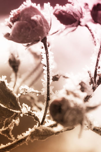 Red rose covered with frost Back Lit Beauty In Nature Botany Branch Change Close-up Focus On Foreground Fragility Frozen Growing Growth Nature No People Outdoors Selective Focus Smoke Springtime Storm Cloud Weather White