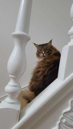 Maine coon Pets Sitting Feline Domestic Cat Maine Coon Cat Tabby Cat Cat Ginger Cat At Home Yellow Eyes Kitten Whisker