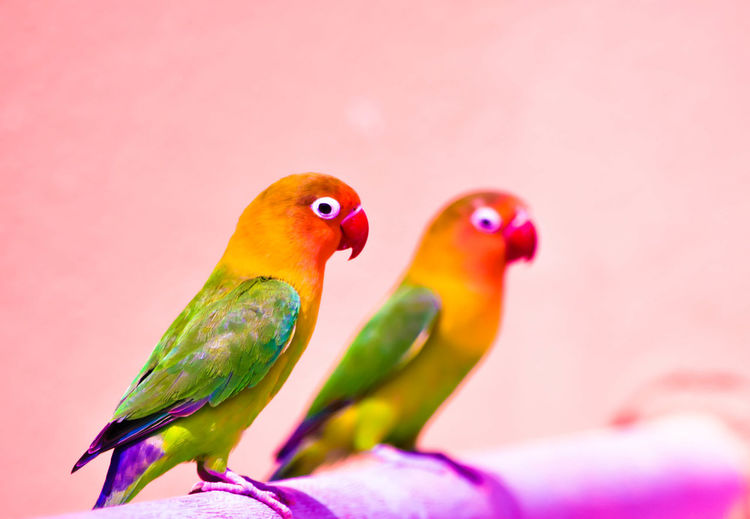 Close-Up Of Parrots On Railing