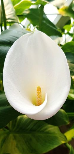 Walking Around White Lilly. Flower Head Flower Leaf Petal Close-up Plant Green Color Plant Life In Bloom Stamen Day Lily Single Flower
