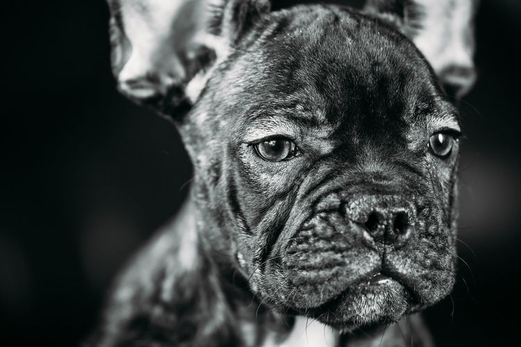 Close Up Portrait Young Black French Bulldog Dog Puppy With White Spot Sit On Red Sofa Indoor. Funny Dog Baby. Photo In B&W, Black And White Colors Dog Pets Portrait Black French French Bulldog Purebred Breed Funny Animal Animal Eye Young Puppy Baby Looking Bulldog Animal Head  Ears