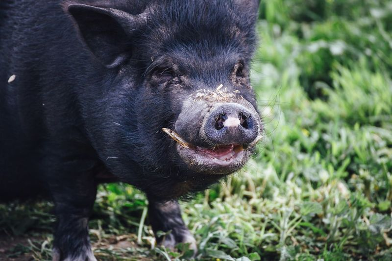 Close-up of black boar
