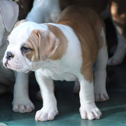 """Help name my keeper female :-) """"One of a Kind's. ................""""???? Oneofakindbulldogs Bulldogs Bulldog Oldeenglishbulldogges oldeenglishbulldogge oldenglishbulldogs oldenglishbulldog premierbreeder oeb oebpuppies puppiesforsale cute adorable bulldogpuppies toocute victorianbulldogs bullyinstagram bullyinstafeature insta_dog bullylife keepitbully staybully SoCal californiadreamin SanDiego SD lovemylife dogoftheday glamorous love"""