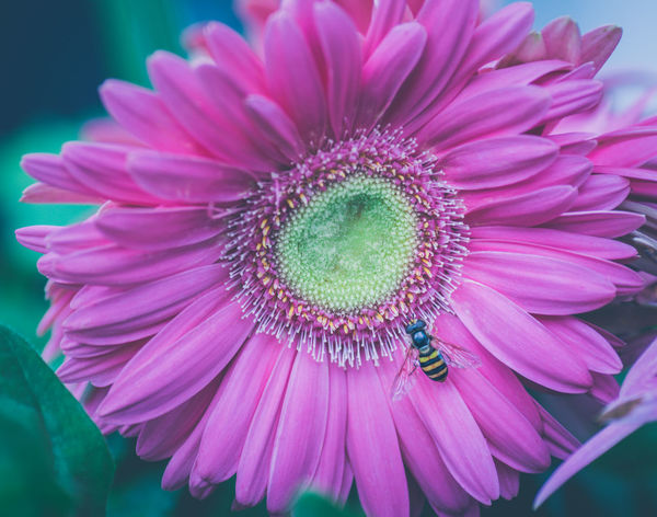 Summer Road Tripping The Week on EyeEm Beauty In Nature Close-up Day Flower Flower Head Flowering Plant Focus On Foreground Fragility Freshness Gerbera Daisy Growth Hoverfly Hoverfly On Flower Macro Nature Outdoors Petal Pink Color Plant Pollen Pollination Purple Vulnerability
