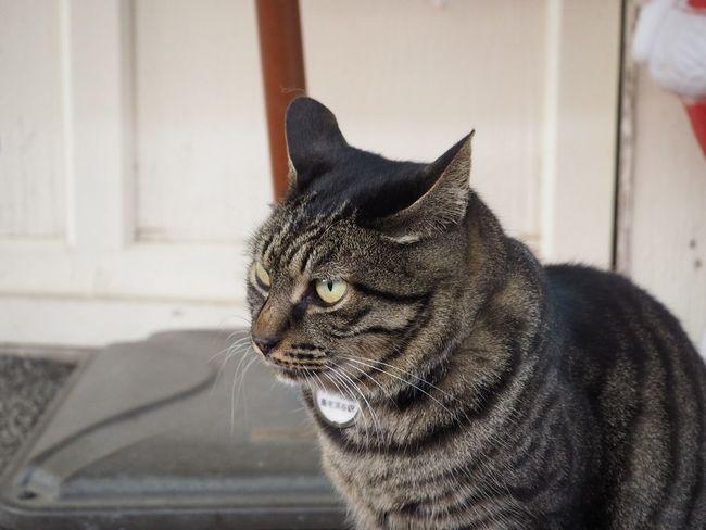 養老渓谷駅 Domestic Cat Pets Domestic Animals One Animal Animal Themes Mammal Feline Close-up Indoors  No People Day