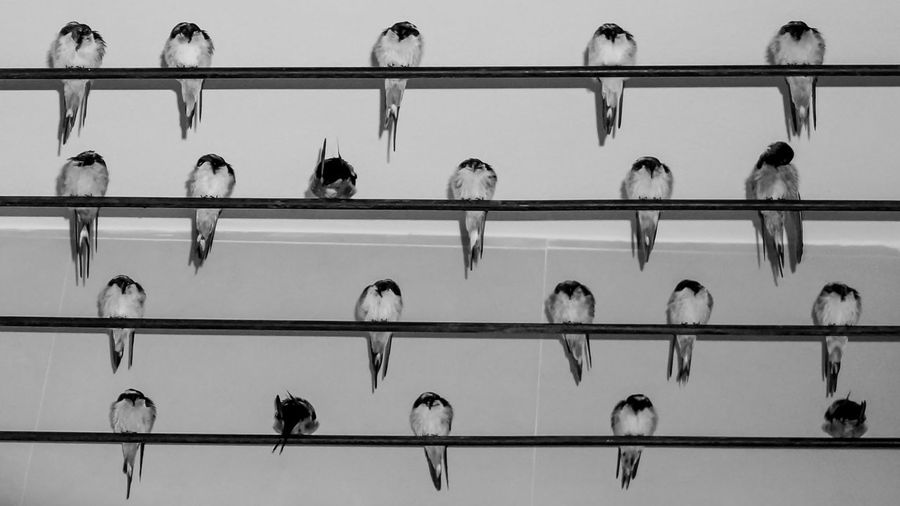 A group of swallows resting on wire Animal Themes Bird Close-up Day Indoors  Low Angle View Mammal Nature No People Perching Resting Swallow Wire