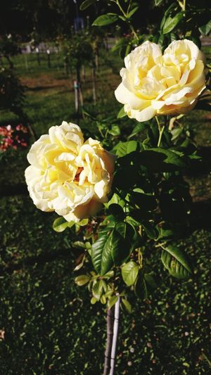 Yellow Roses Hanging Out Check This Out Taking Photos