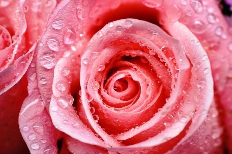 Full frame shot of wet red flower