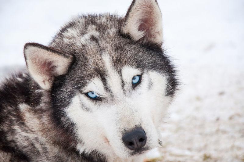 Close-Up Portrait Of A Husky Dog