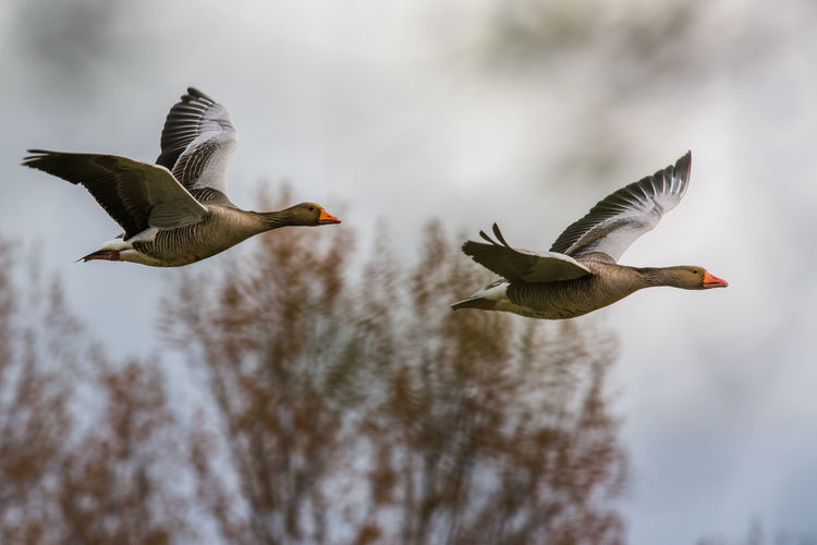 Greylag geese in flight Animal Wing Bird Bird In Flight Clouds And Sky Flying Geese Goose Greylag Goose Need For Speed No People Selective Focus Wildlife Two Is Better Than One