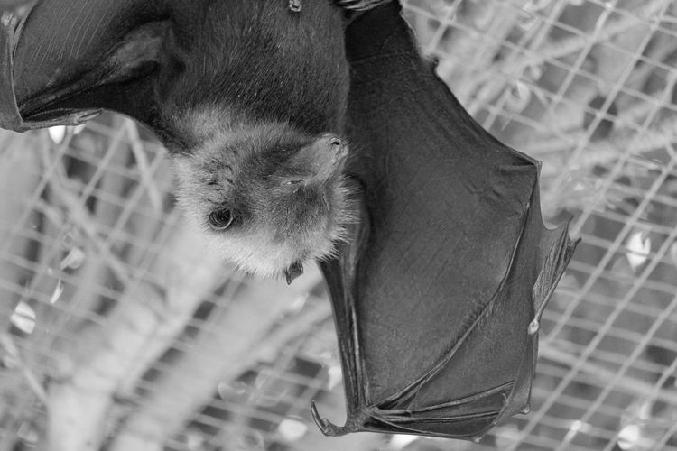 Bat Bats Black & White EyeEm EyeEm Best Shots EyeEm Bnw EyeEmBestPics Animal Animal Themes Black And White Blackandwhite Blackandwhite Photography Bnw Eye4photography  Monochrome