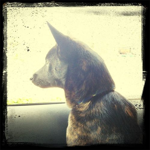 out on a drive...kona loves cars so much:)