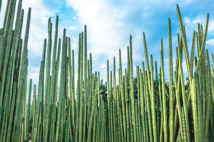 Low Angle View Of Bamboo Plants Against Sky