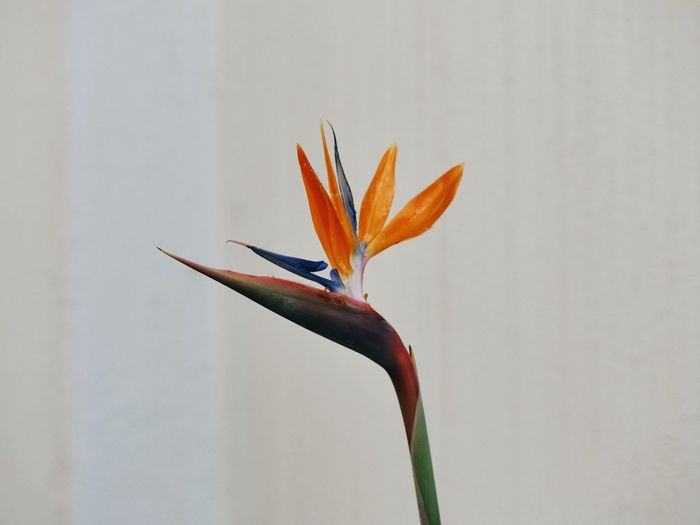 Bird of paradise blooming against wall