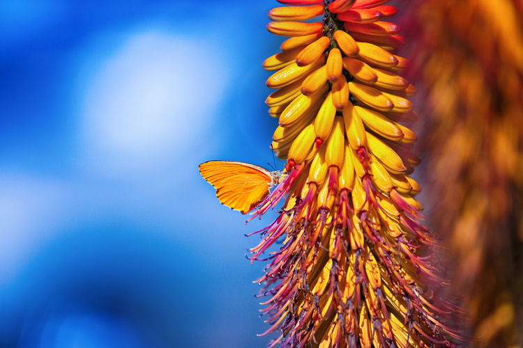 Orange Blue Butterfly Flower Insect Petals Sky Stem Sugarbird